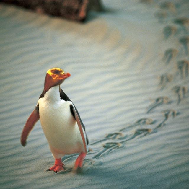 Pingouin aux yeux jaunes Otago Nouvelle zelande