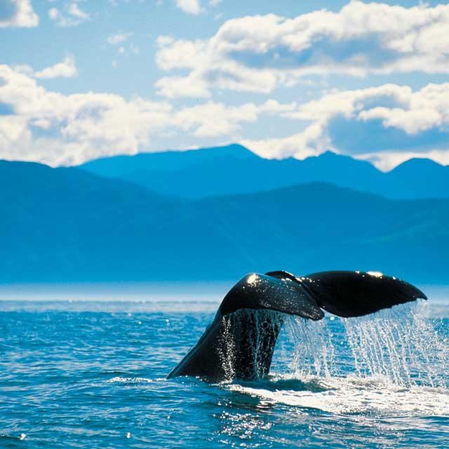Baleines kaikoura Nouvelle zelande