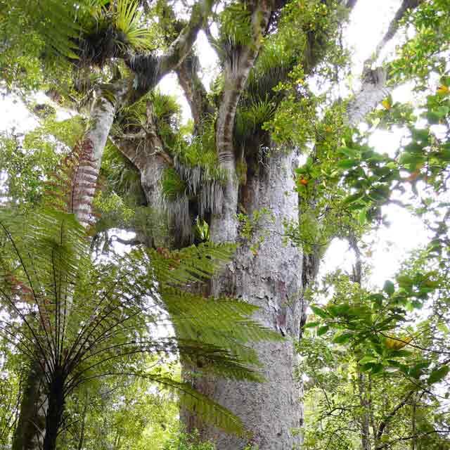 Kauri arbre nouvelle zelande