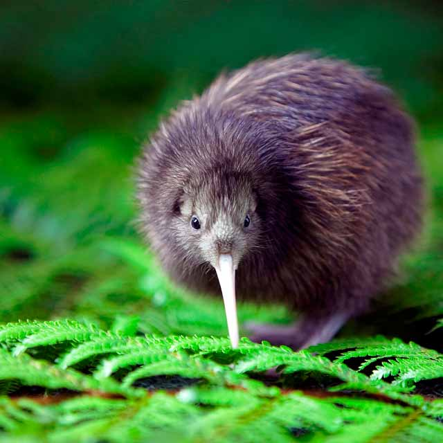 kiwi nouvelle zélande