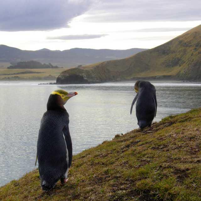 Voyage Nouvelle Zélande - Manchots aux yeux jaunes