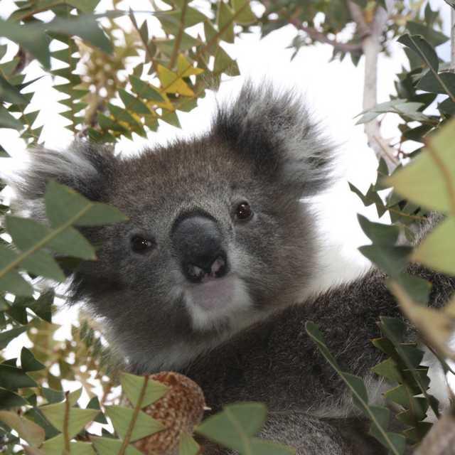 austalie et nouvelle zélande en camping car - Koala