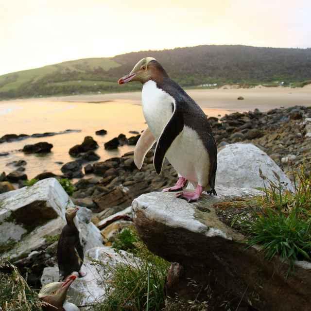 Voyage en Nouvelle-Zélande - Pingouins aux yeux jaunes